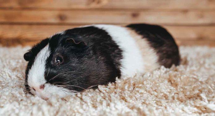 sick guinea pig
