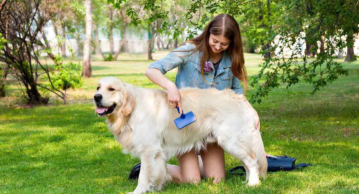 Best Brush For Golden Retrievers - Top Choices For Their