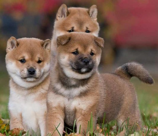japanese pet names
