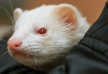 Albino Ferret – What Their White Coat and Red Eyes Are Telling You