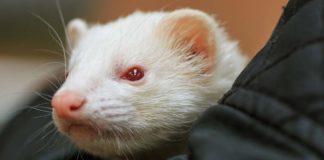 albino ferret