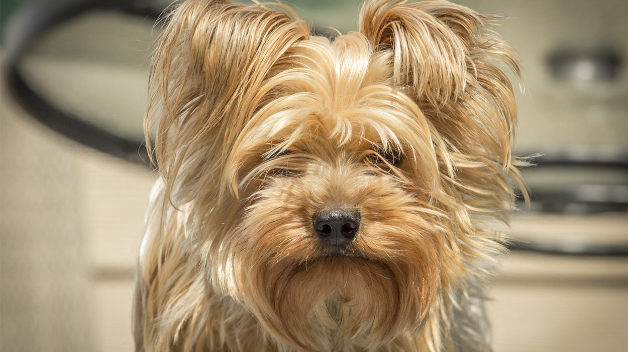Brush For Yorkies And Their Lovely Long Fur