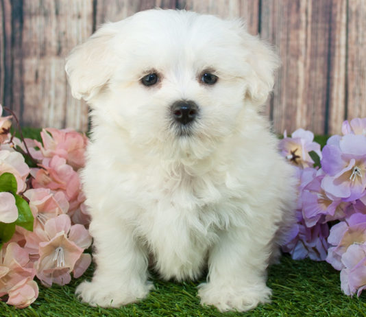 best dog food for maltipoo