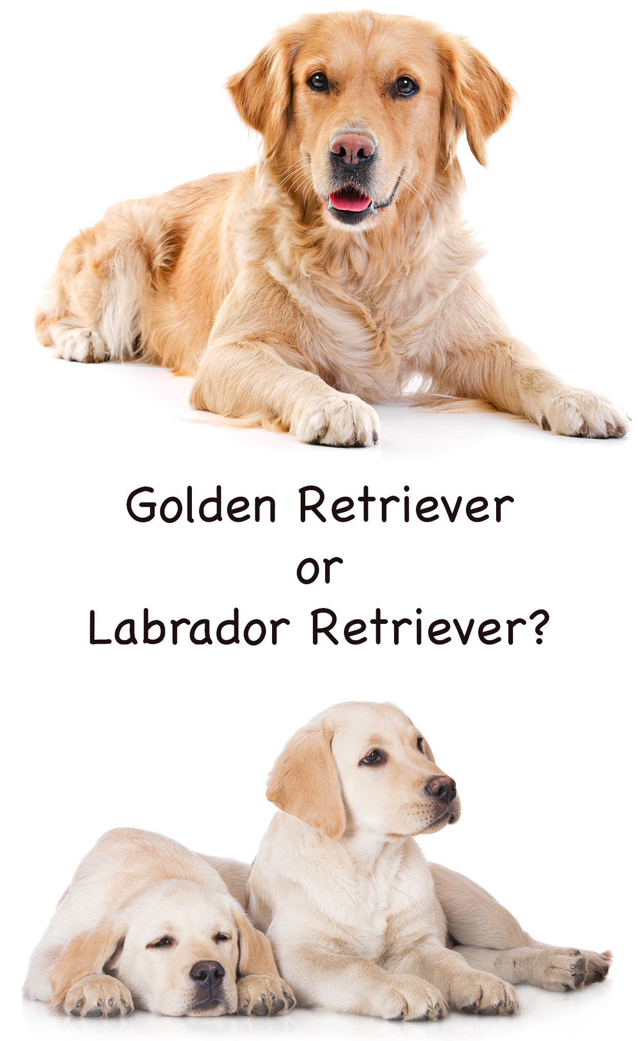 Golden Retriever Vs Labrador Two Of The Most Popular Dogs To Choose