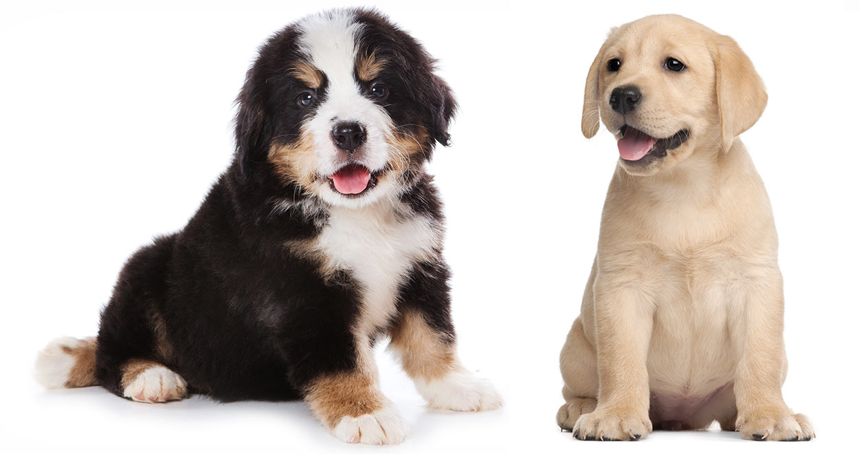Labernese Find Out All About The Bernese Mountain Dog Lab Mix