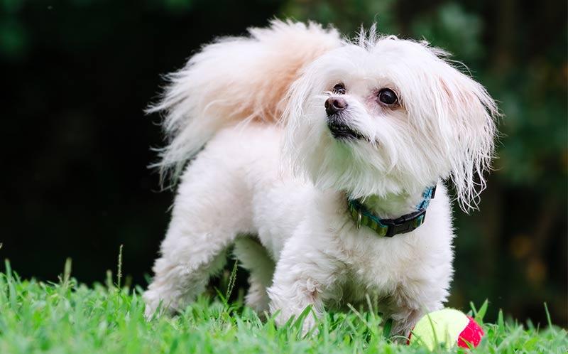 Maltipoo The Adorable Maltese Poodle Mix Breed Dog
