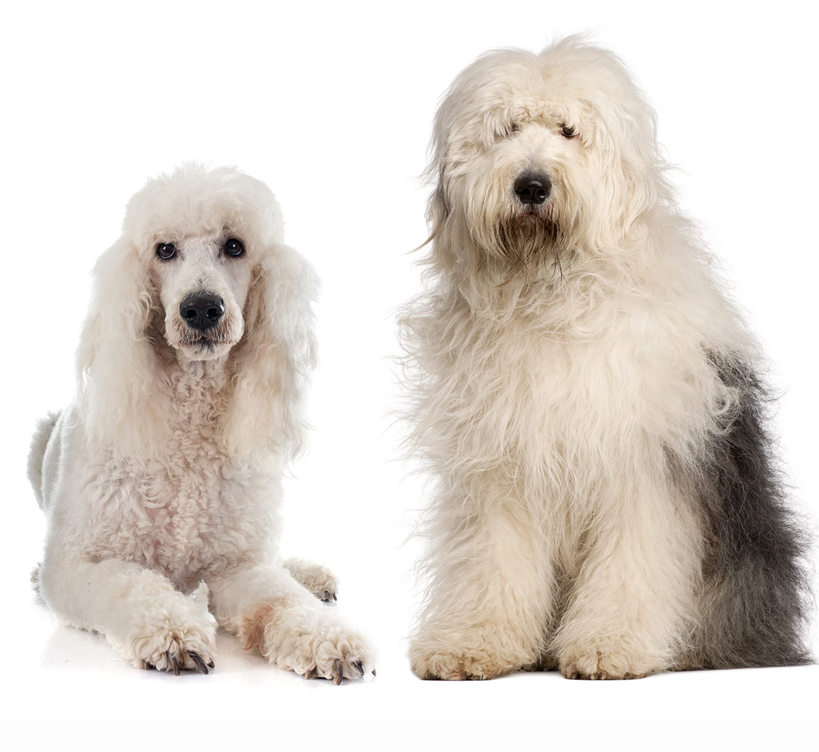 Sheepadoodle The Result Of Mixing Poodles With Old English