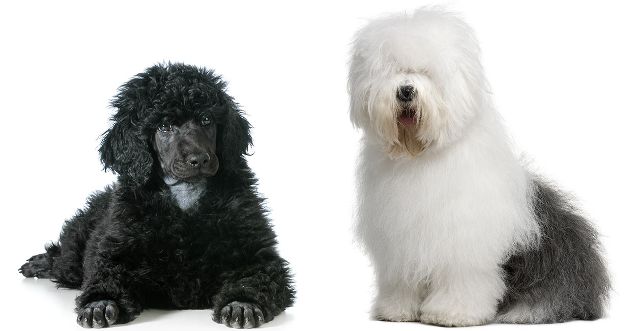 Sheepadoodle - The Result Of Mixing Poodles with Old English Sheepdogs