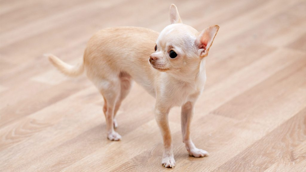 Teacup Chihuahua Is This Tiny Pup The