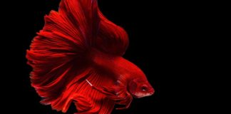 Betta fish names