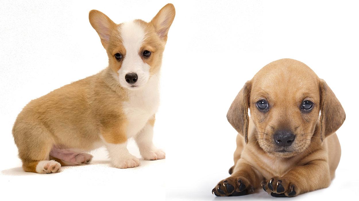 dachshund corgi mix