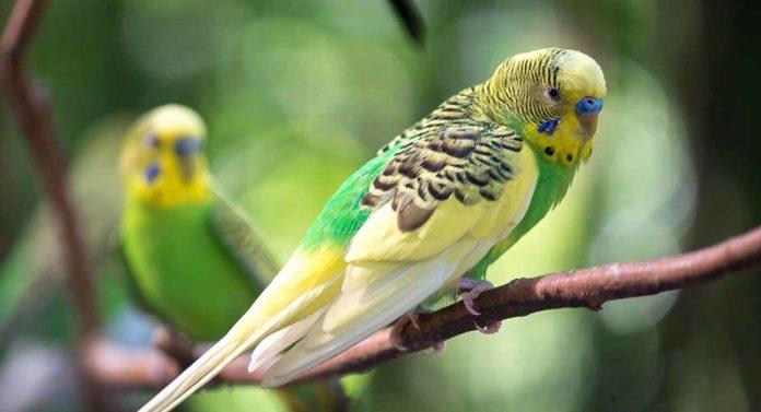 parakeet names