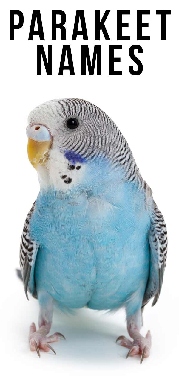 Parakeet Names 350 Ideas For Naming Your Beautiful Bird