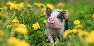 pig names