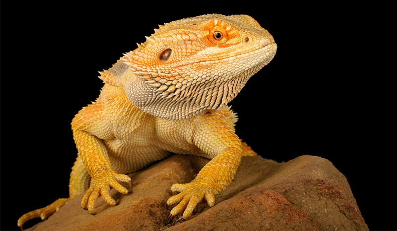Marvelous Bearded Dragon Names Awesome Ideas For Naming Your Dragon Natural Hairstyles Runnerswayorg