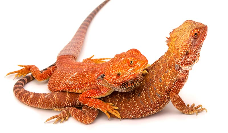 orange bearded dragon