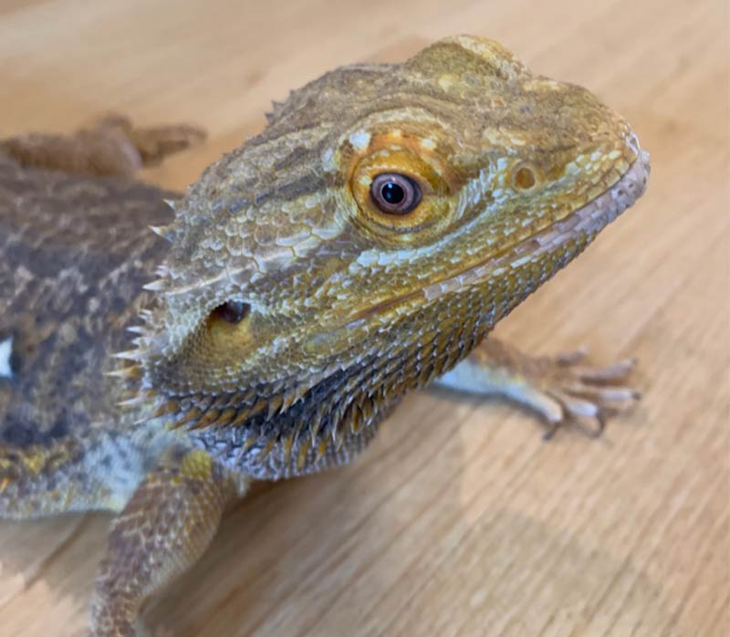 Bearded Dragon Names - Awesome Ideas For Naming Your Dragon