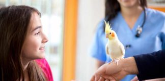 cockatiel care