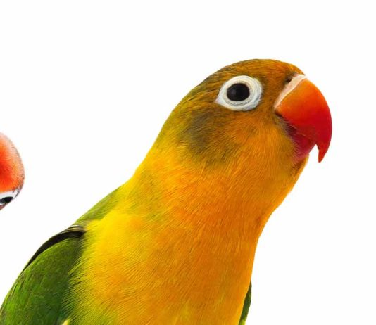 fischers lovebird