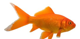 goldfish names