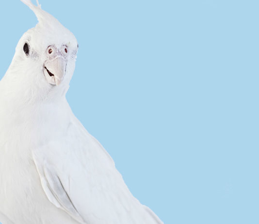 white cockatiel