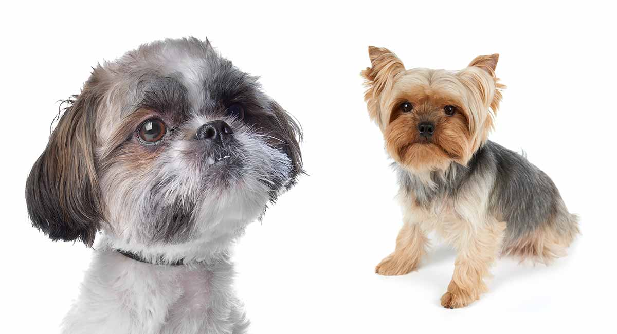Shih Tzu Yorkie Mix A Complete Guide To The Popular Shorkie