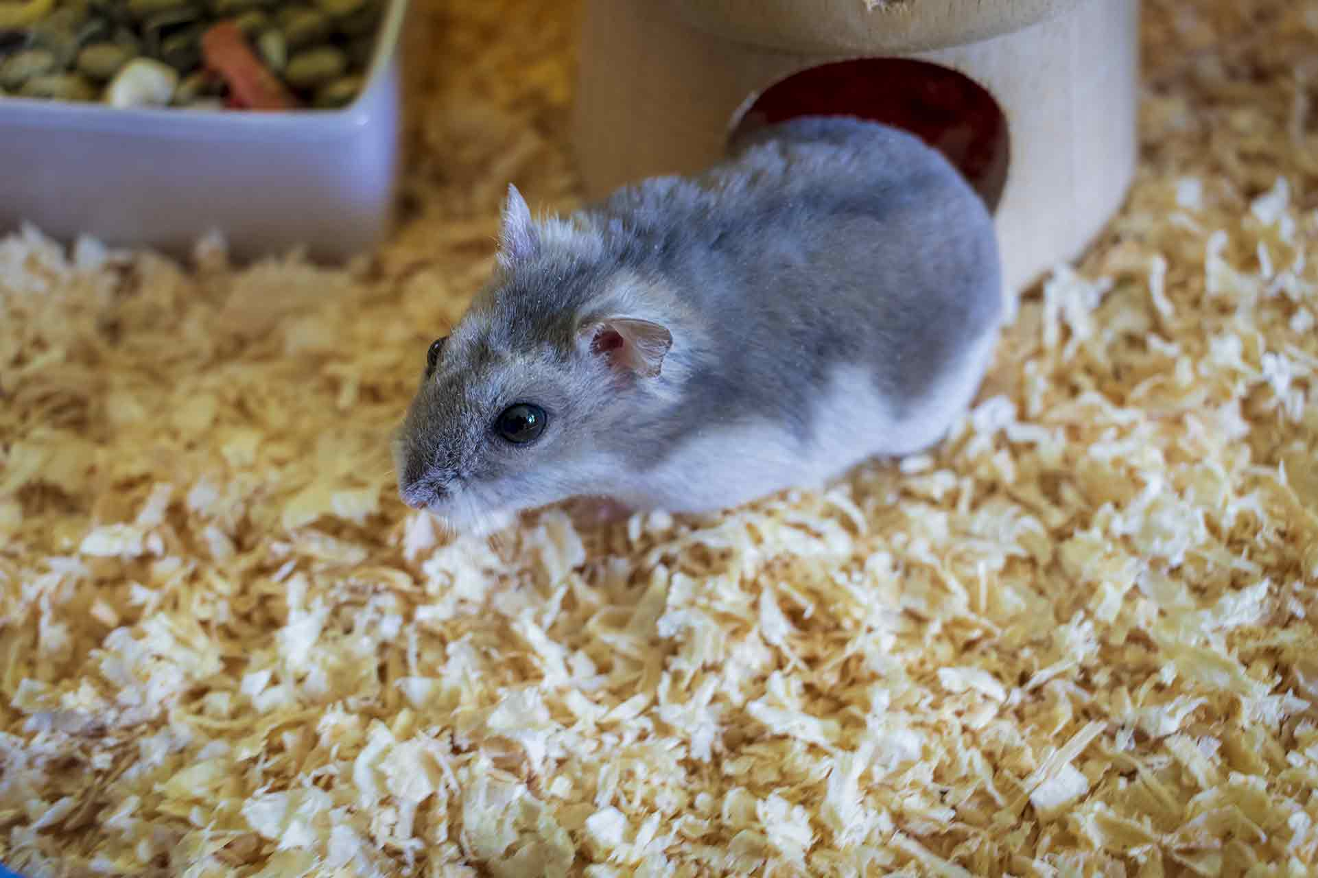 Winter White Hamster Colors