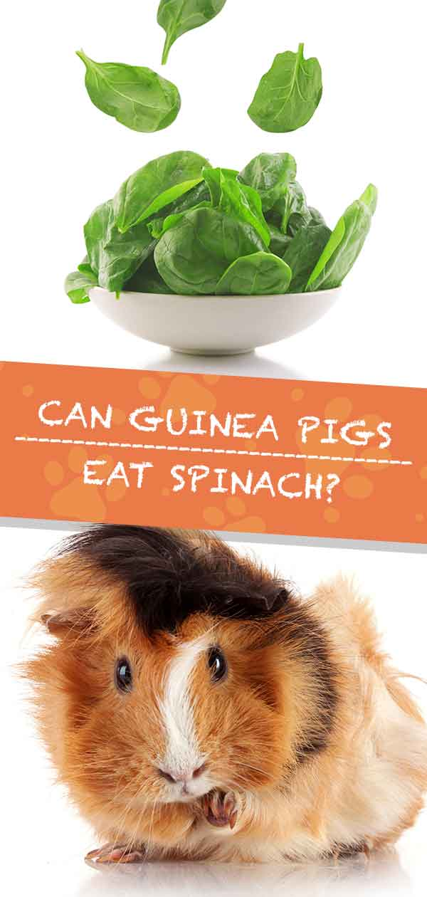 Can Guinea Pigs Eat Spinach