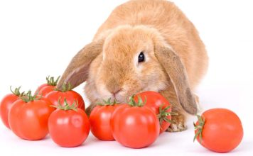 can rabbits eat tomatoes