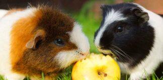 fruits for guinea pigs