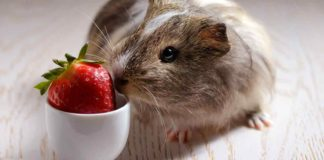 can guinea pigs eat strawberries