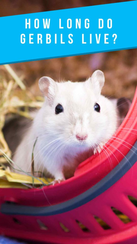 A white gerbil, captioned 'How long do gerbils live?""