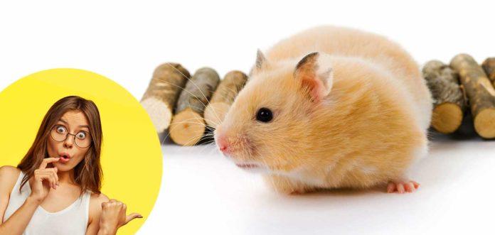 teddy bear hamster facts