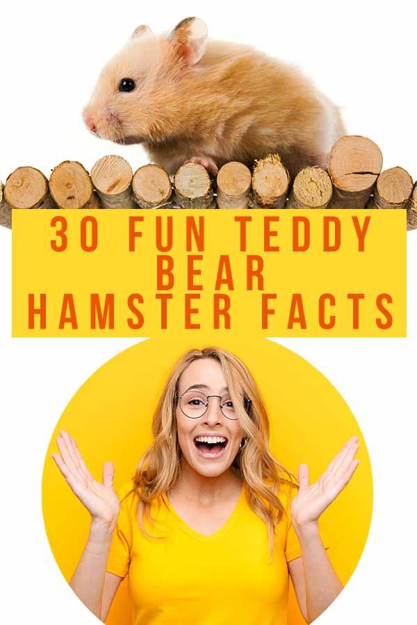 fancy bear hamster