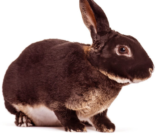 black otter rex rabbits
