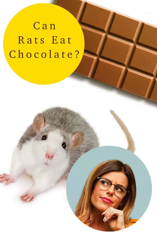 rats and chocolate
