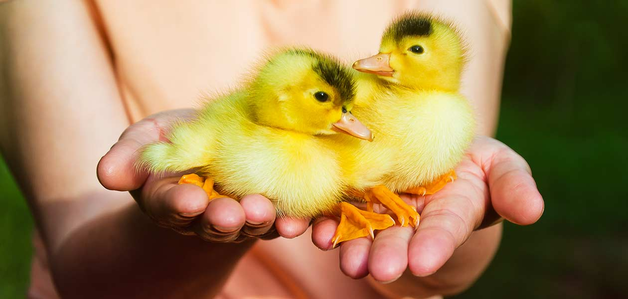 Duck Names Over 400 Fun Cute And Funny Ideas For Your Ducks