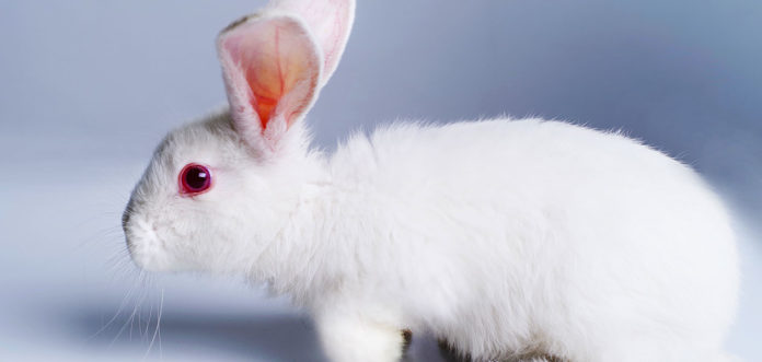 albino rabbit