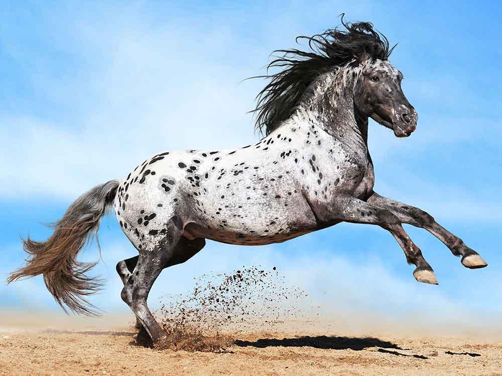 appaloosa horse breed
