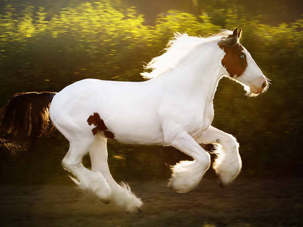american paint horse breed