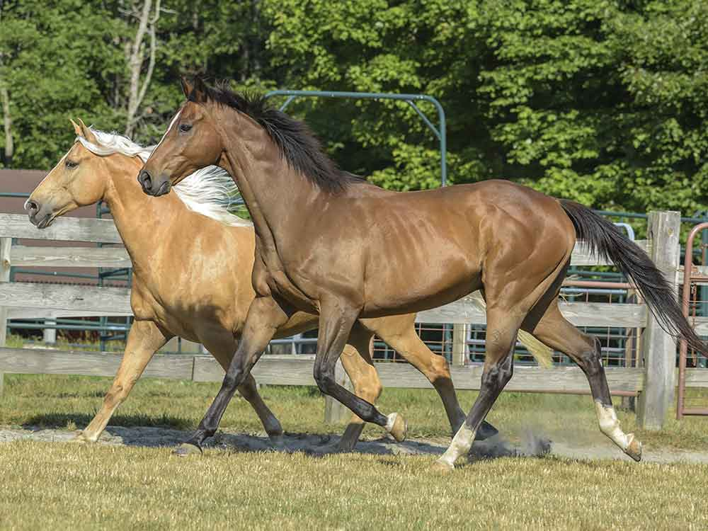 tennessee walking horse breed