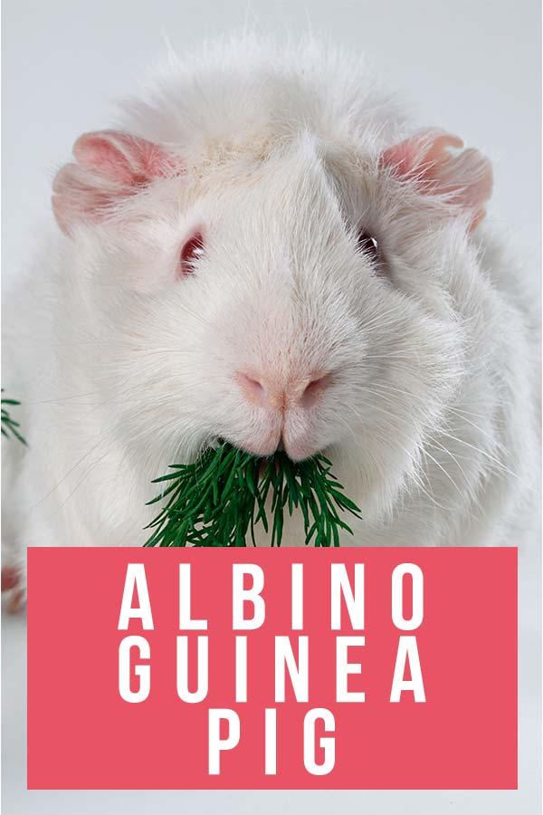 albino guinea pig