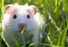 albino hamster