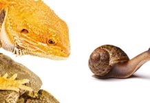 can bearded dragons eat snails