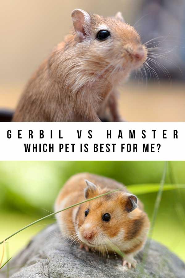 hamster or gerbil