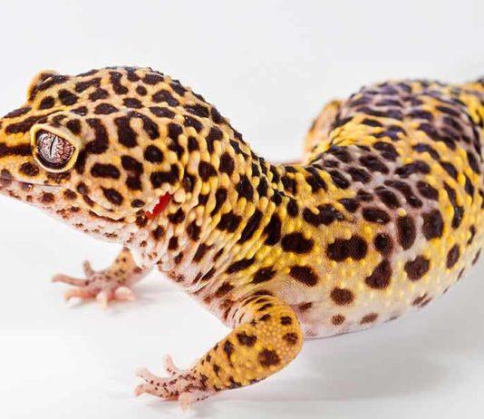 gecko names