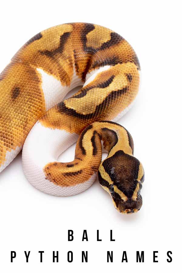 ball python names