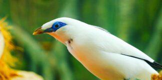 mynah bird