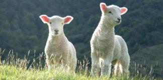 sheep names