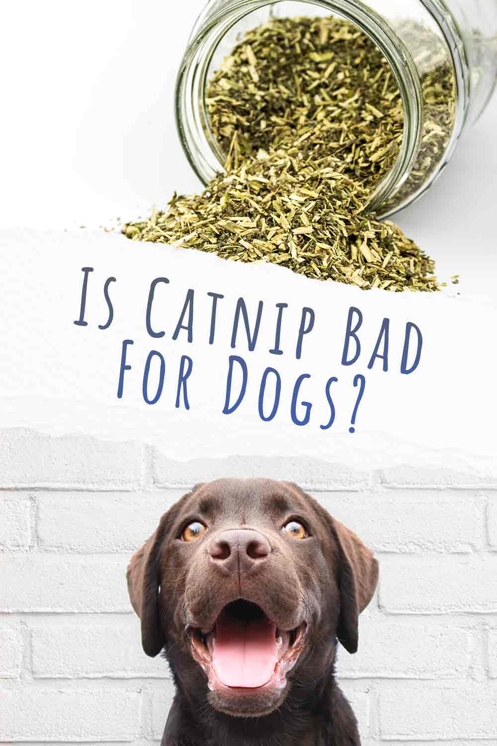 Is Catnip Bad For Dogs?